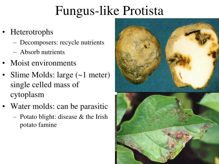 Fungus-like Protista