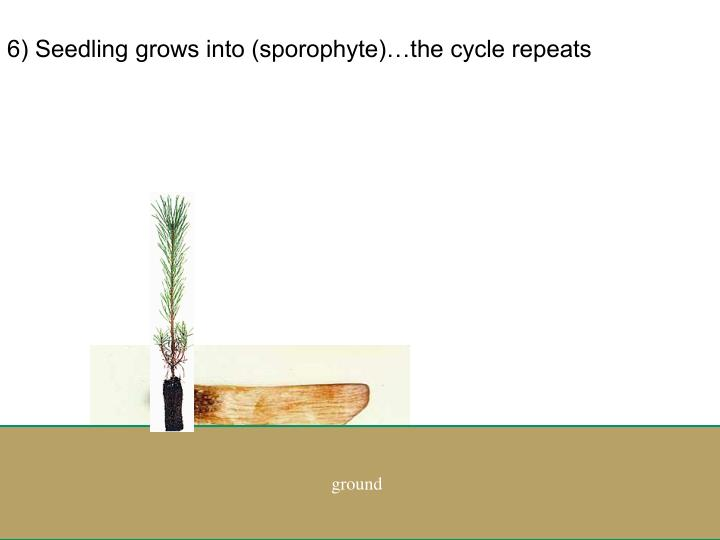 6) Seedling grows into (sporophyte)…the cycle repeats