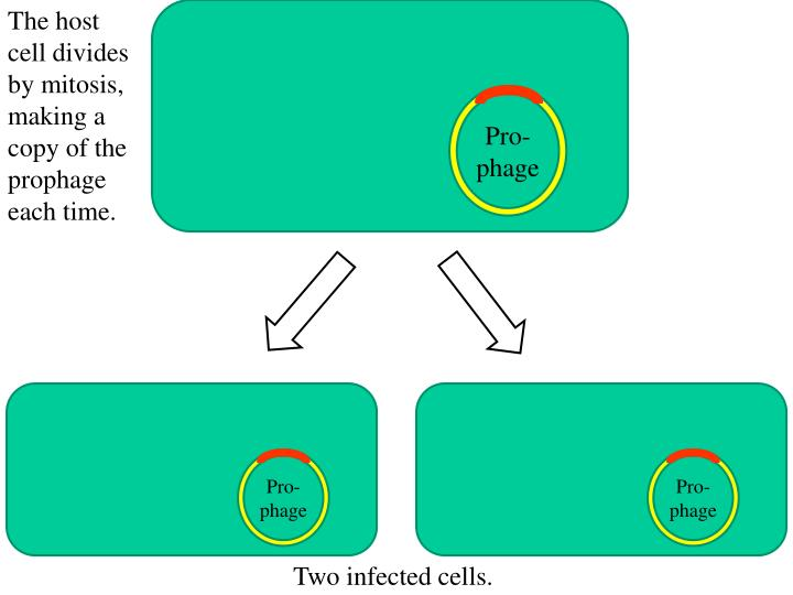 The host cell divides by mitosis, making a copy of the prophage each time.