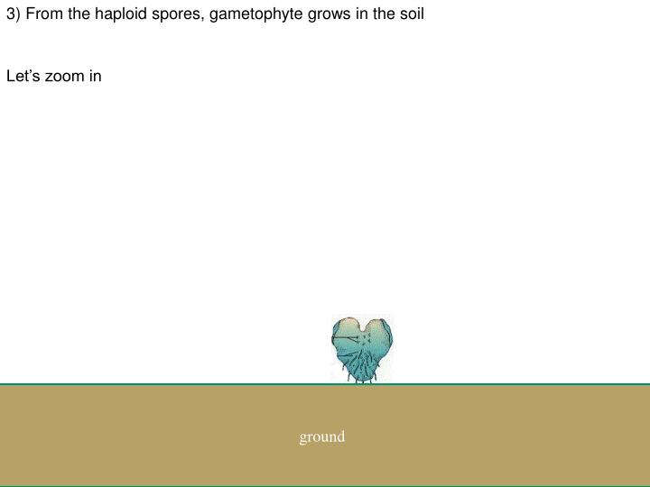 3) From the haploid spores, gametophyte grows in the soil