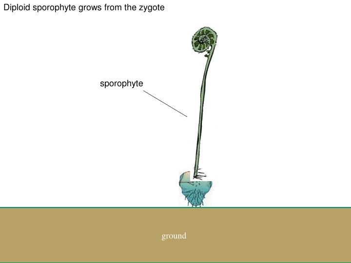 Diploid sporophyte grows from the zygote