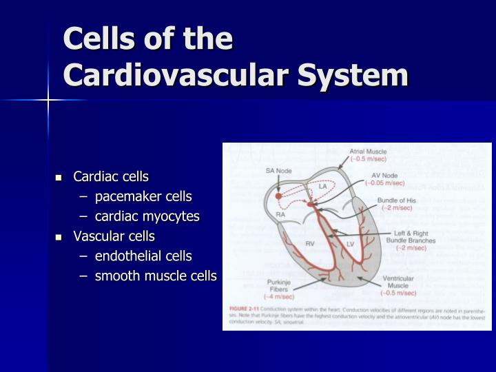 Cells of the Cardiovascular System