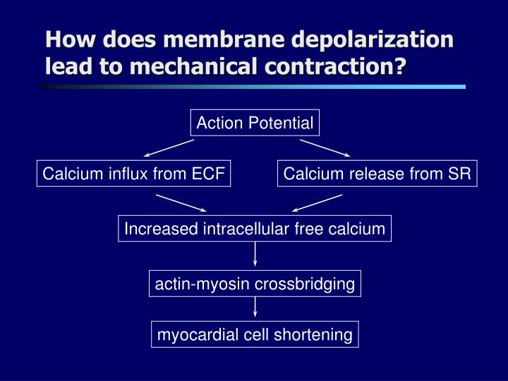 How does membrane depolarization lead to mechanical contraction?