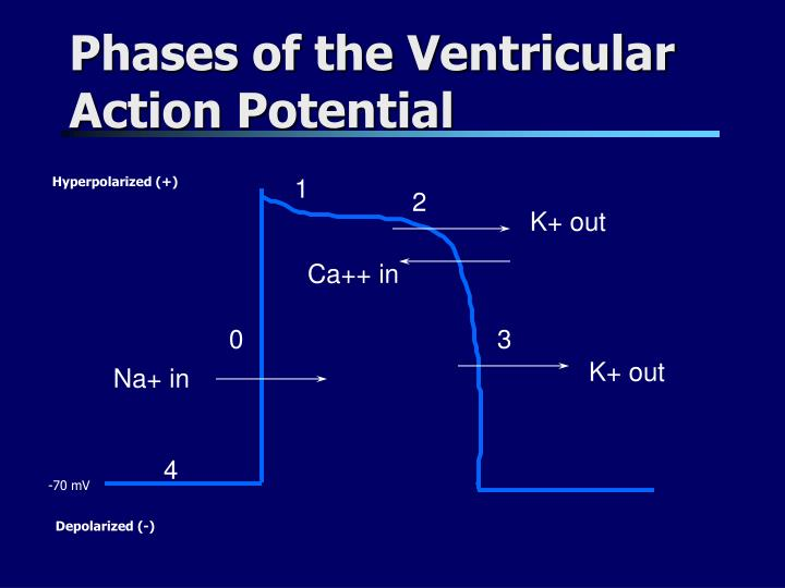 Phases of the Ventricular