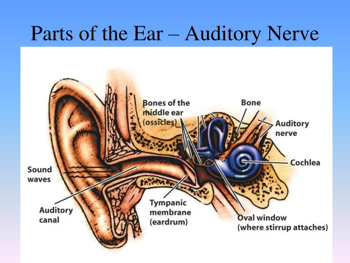 Parts of the Ear – Auditory Nerve