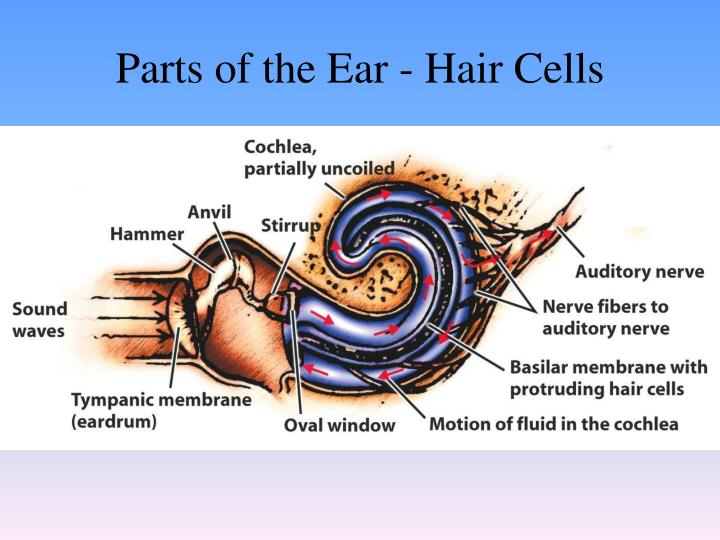 Parts of the Ear - Hair Cells