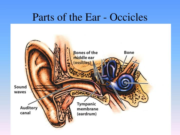 Parts of the Ear - Occicles