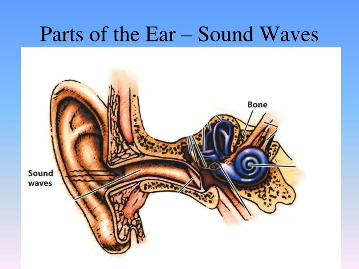 Parts of the Ear – Sound Waves