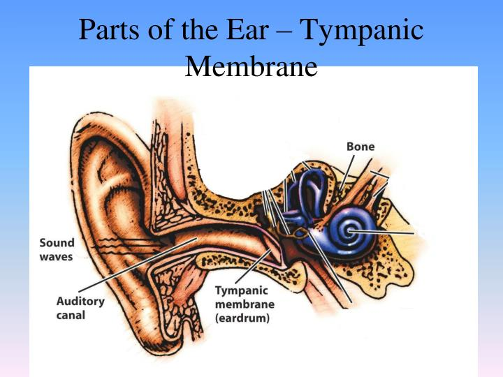 Parts of the Ear – Tympanic Membrane