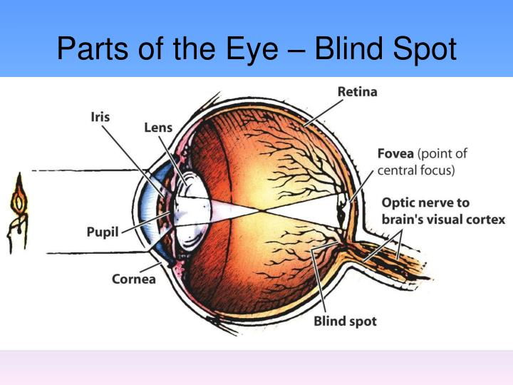 Parts of the Eye – Blind Spot