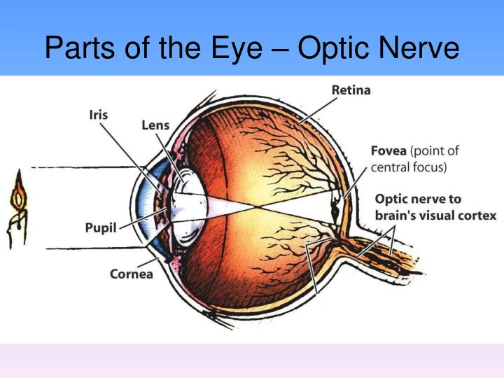 Parts of the Eye – Optic Nerve
