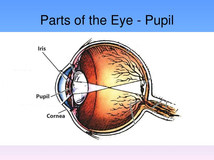 Parts of the Eye - Pupil