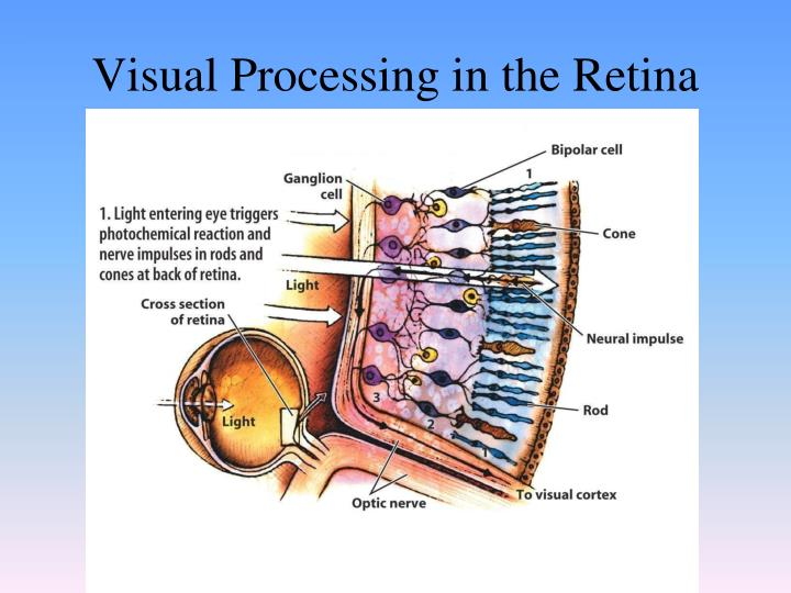 Visual Processing in the Retina