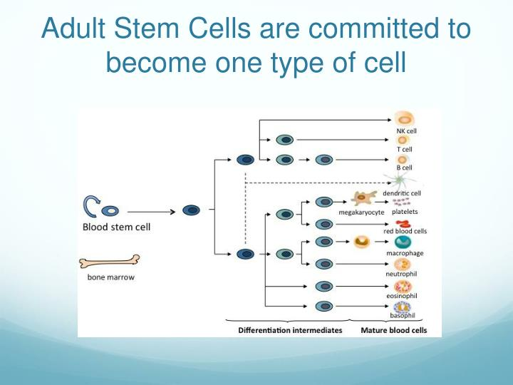 Adult Stem Cells are committed to become one type of cell