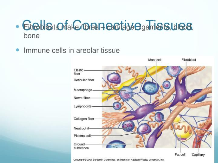 Cells of Connective Tissues