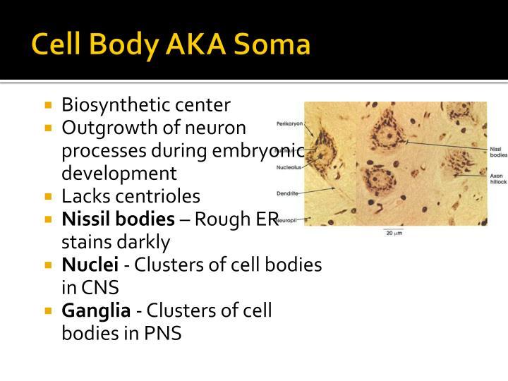 Cell Body AKA Soma
