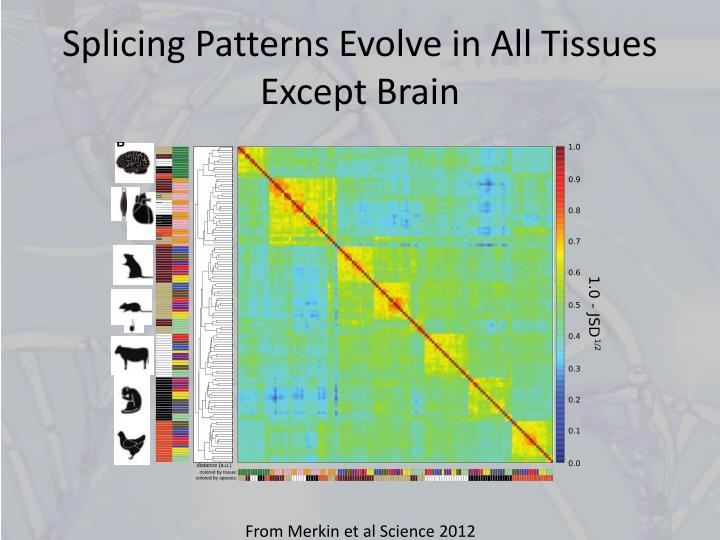 Splicing Patterns Evolve in All Tissues Except Brain
