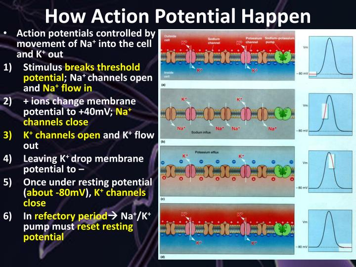 How Action Potential Happen