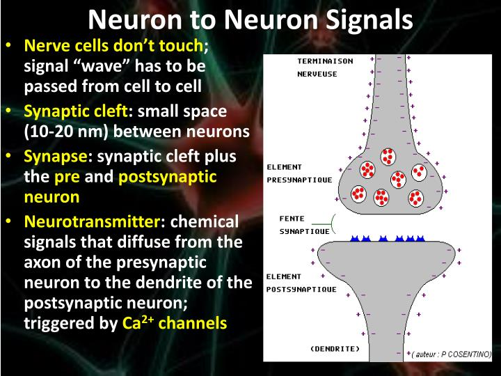 Neuron to Neuron Signals