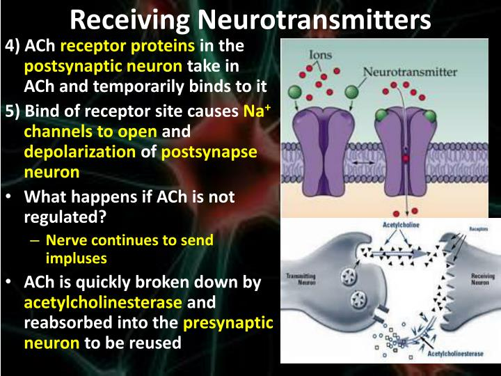 Receiving Neurotransmitters