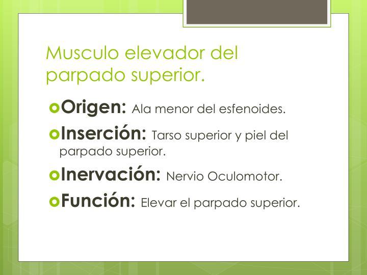 Musculo elevador del parpado superior.