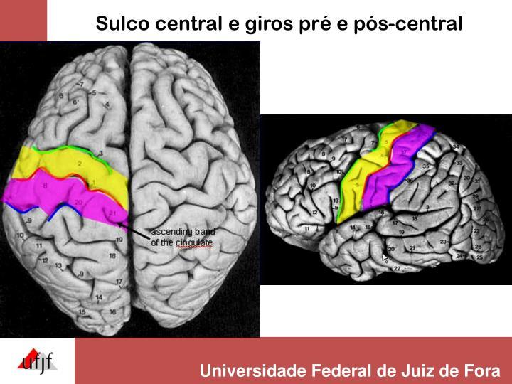 Sulco central e giros pré e pós-central