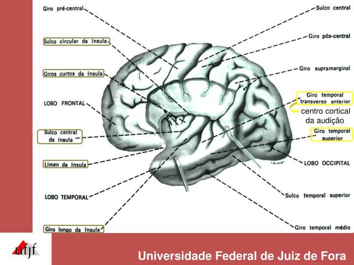 centro cortical