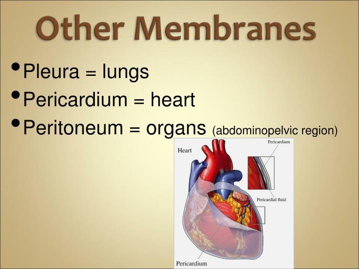 Pleura = lungs