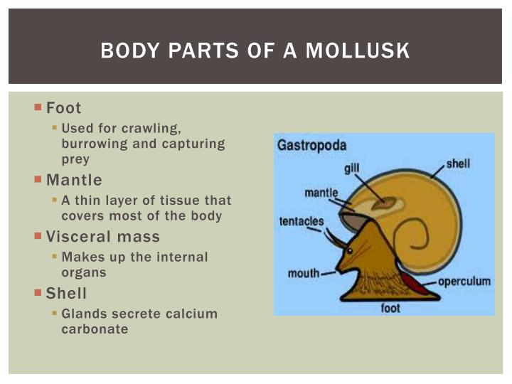 Body Parts of a mollusk