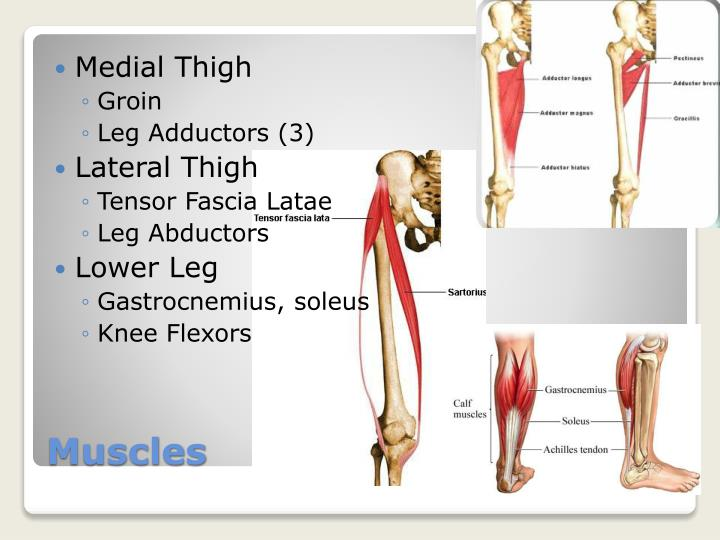 Medial Thigh