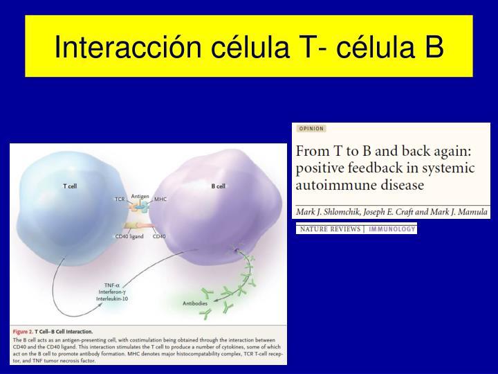 Interacción célula T- célula B