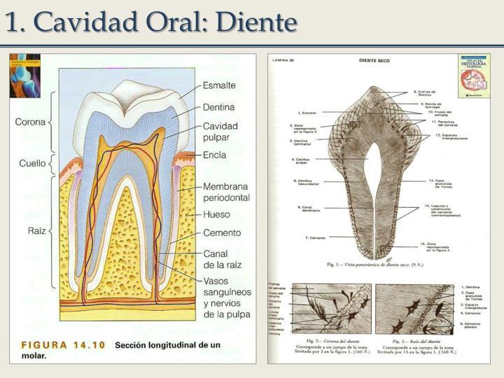 1. Cavidad Oral: Diente