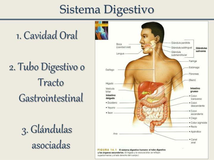 Sistema Digestivo