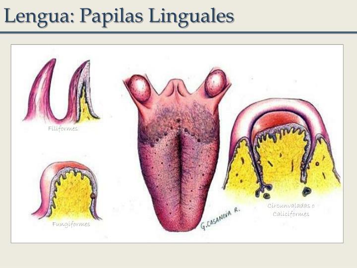 Lengua: Papilas Linguales
