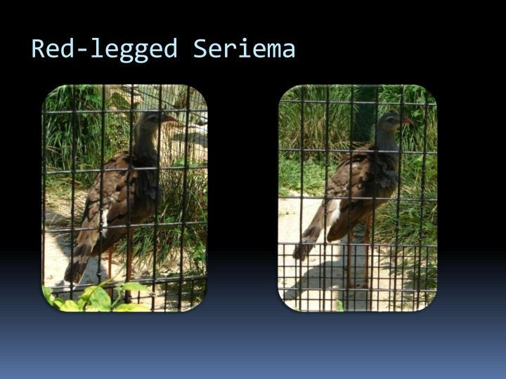 Red legged seriema1