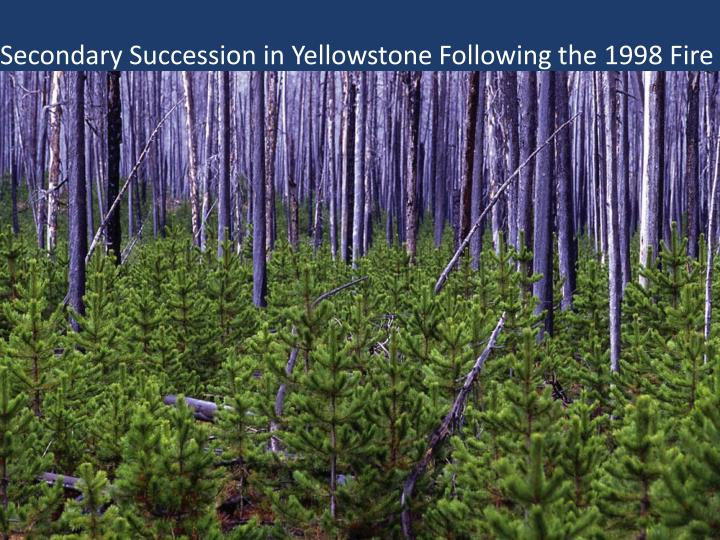 Secondary Succession in Yellowstone Following the 1998 Fire