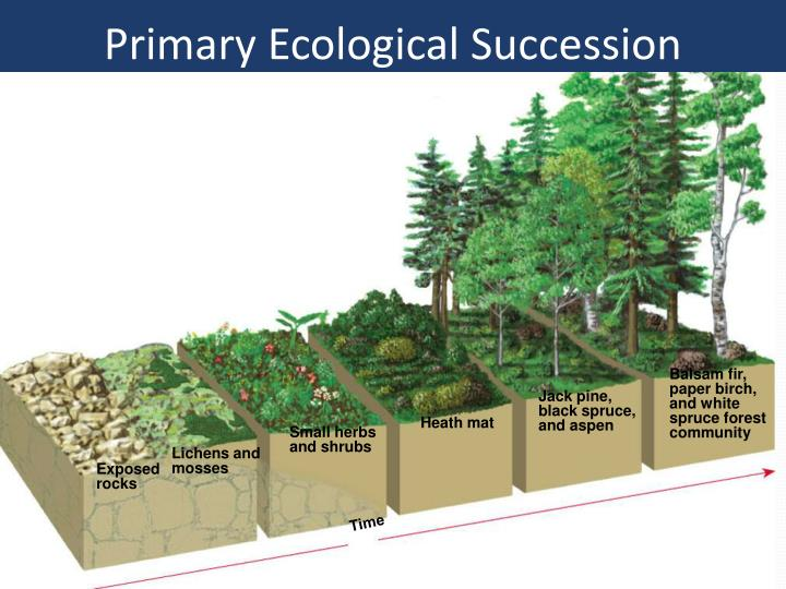 Primary Ecological Succession