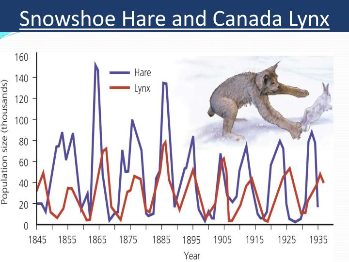 Snowshoe Hare and Canada Lynx