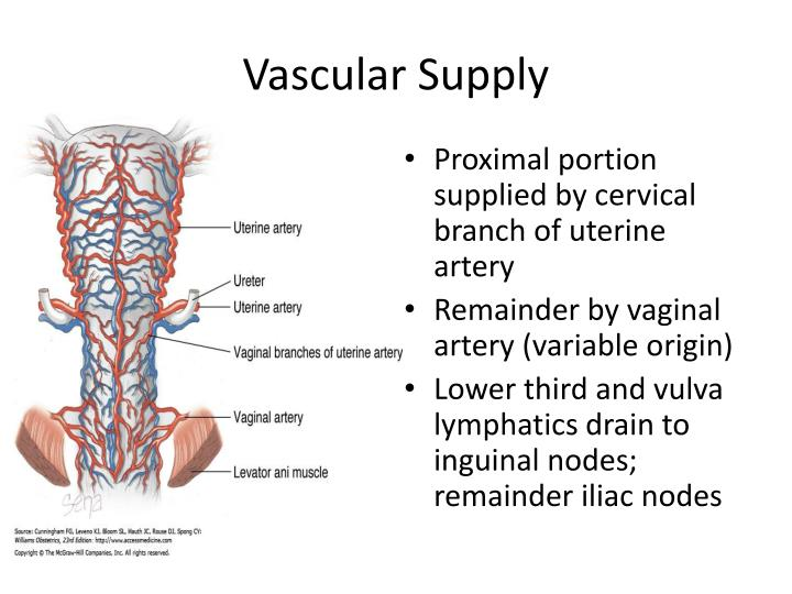 Vascular Supply