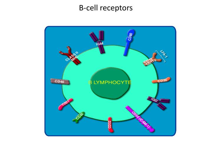 B-cell receptors