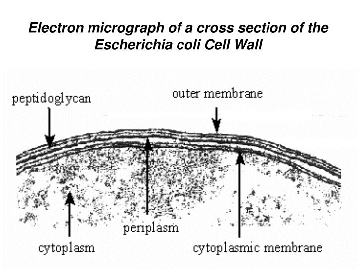 Electron micrograph of a cross section of the
