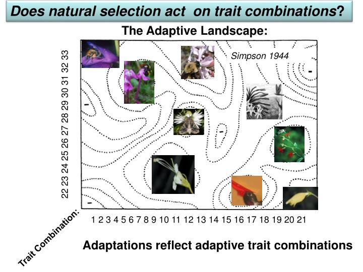 Does natural selection act  on trait combinations