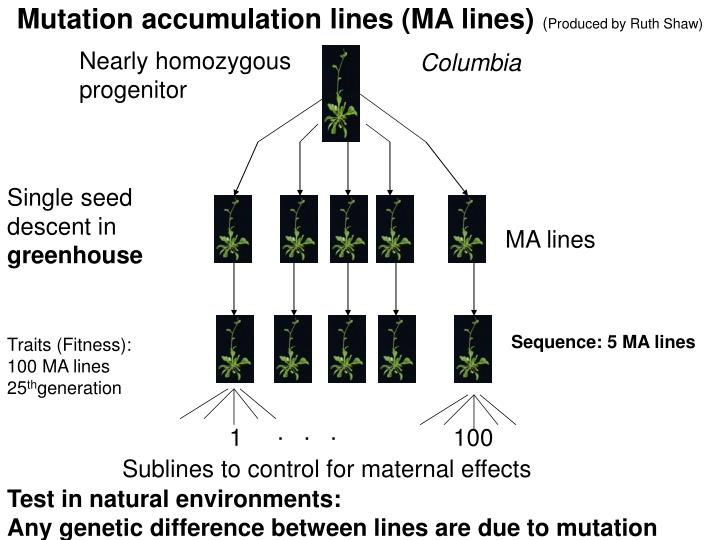 Mutation accumulation lines (MA lines)