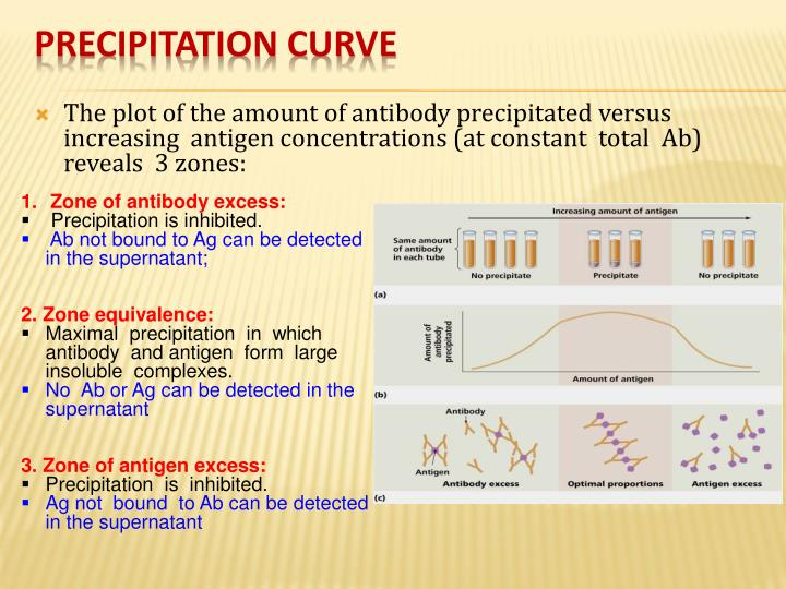 The plot of the amount of antibody precipitated versus  increasing  antigen concentrations (at constant  total