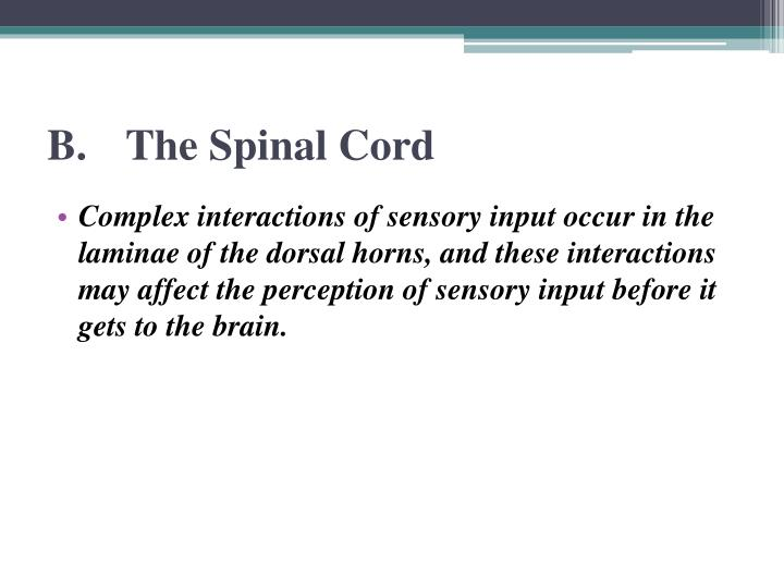 B.The Spinal Cord