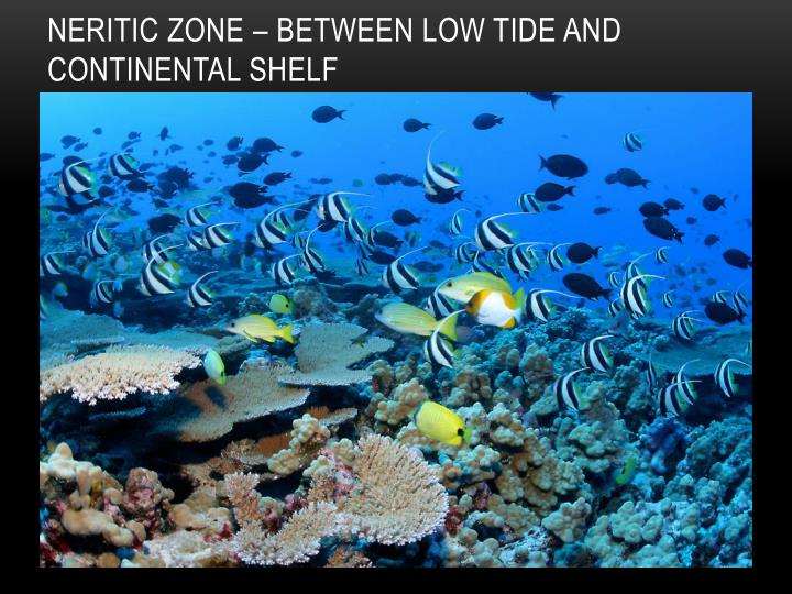 Neritic Zone – between low tide and continental shelf