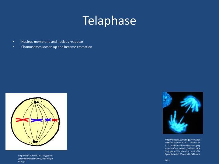 Telaphase