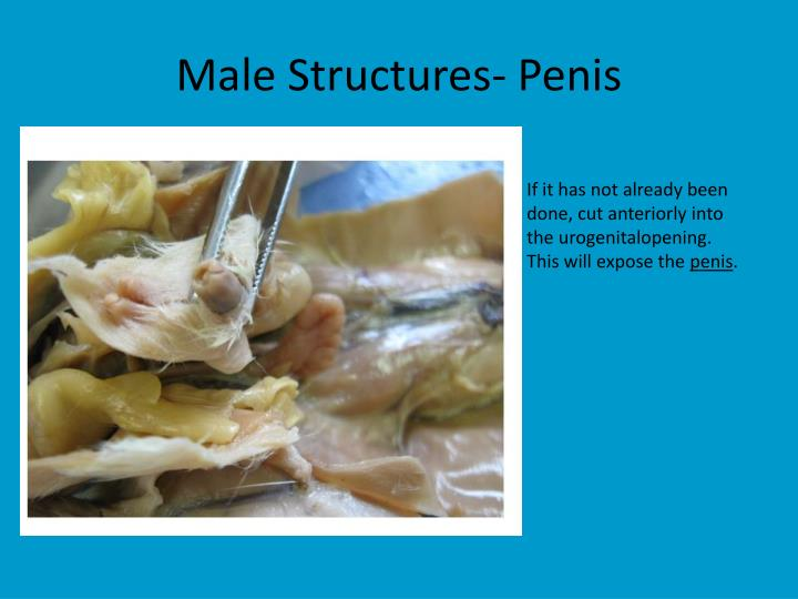 Male Structures- Penis