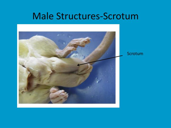 Male Structures-Scrotum