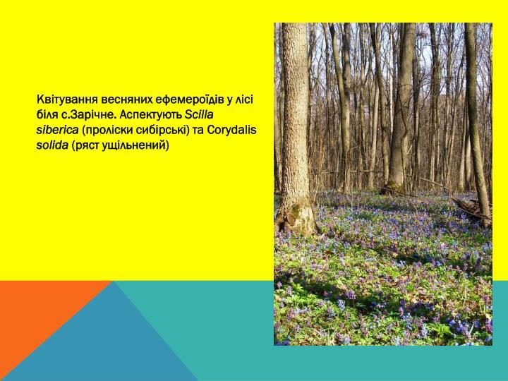 Квітування весняних ефемероїдів у лісі біля